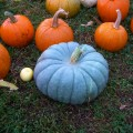 Blue pumpkin in a field of orange pumpkins